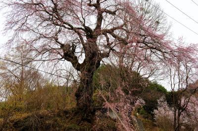 [ 西光の枝垂桜 ]  高台にあります。桜の周りに電線が何本もありました。