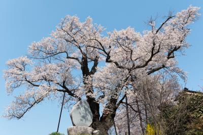 水佐代獅子塚のエドヒガン| 古墳の上から天高く枝が伸びています。
