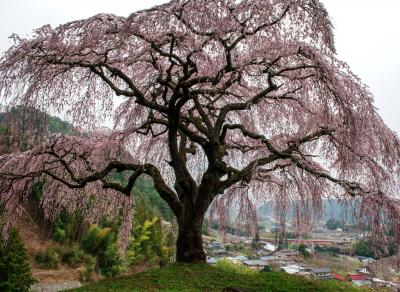 春を待ちて| 高台に立つ孤高の桜。丘の上から街を見守っているようです。