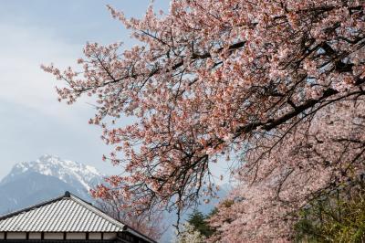 清春の桜群と甲斐駒ケ岳| 天気が良いと甲斐駒ケ岳が見えます。