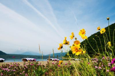 西湖の湖畔| 湖畔に黄色い花が咲いていました。 ボートが綺麗に並べられています。