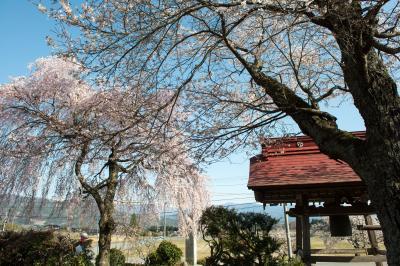 祐源禅寺の桜| 鐘つき堂があります。