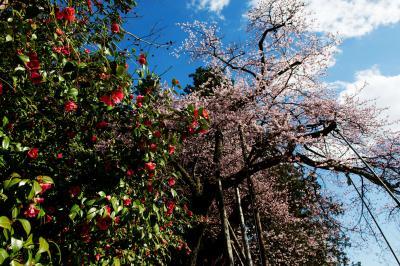 ツバキと桜と青空と| ツバキと並んで咲いている桜です。