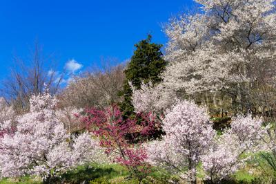 塩山ふれあいの森の桜| 山の斜面にたくさんの桜があります。