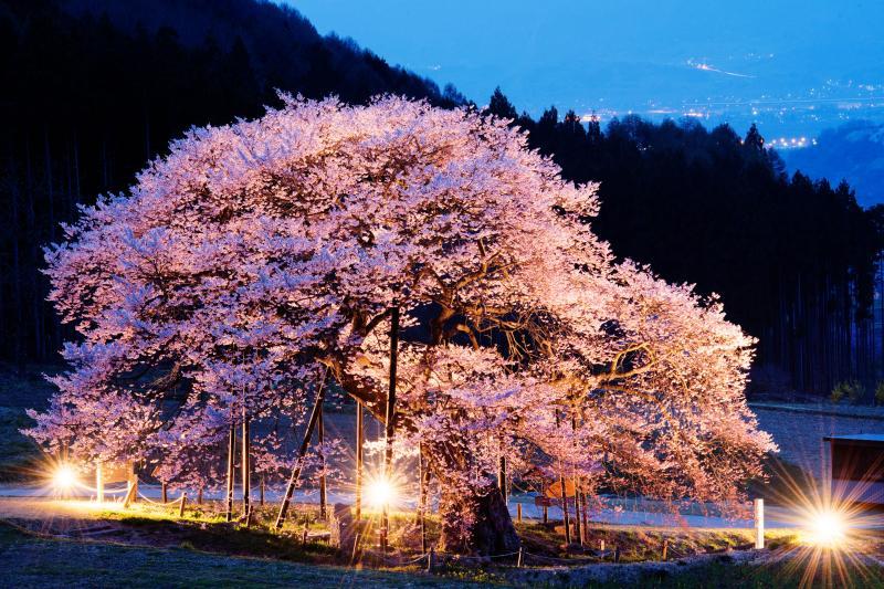 [ 輝満ちて ]  闇に浮かび上がる美しき桜と遠くの街灯り。