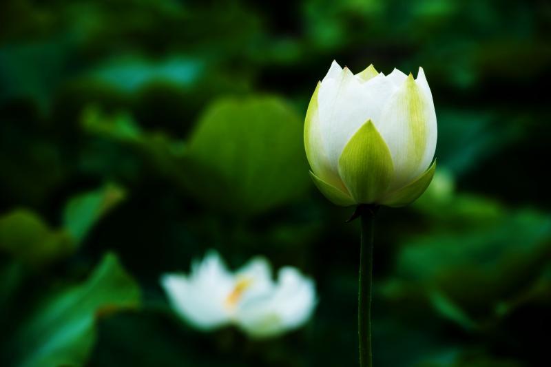 [ 白い蓮 ]  開きかけの蓮です。