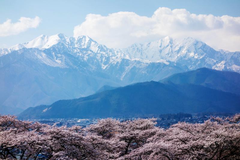 [ 大町霊園の桜と残雪の北アルプス ]  桜越しに大町の町並みと北アルプスが一望できます。
