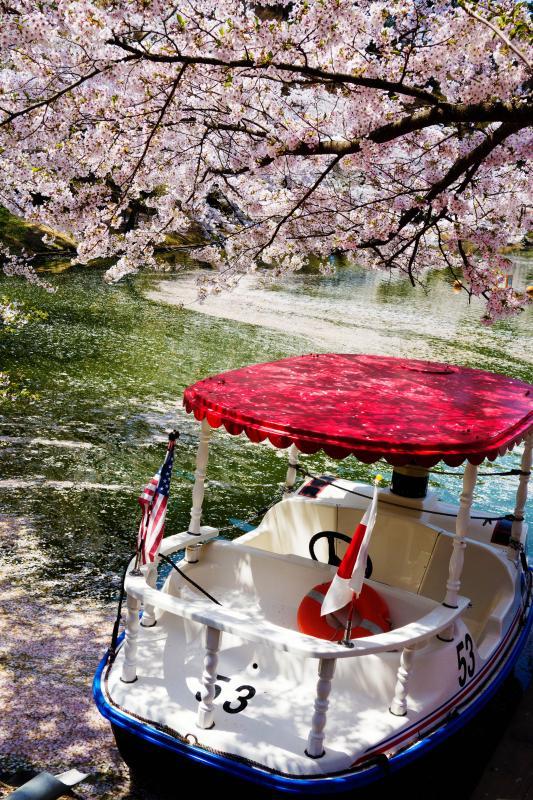 [ 臥竜公園の桜 ]