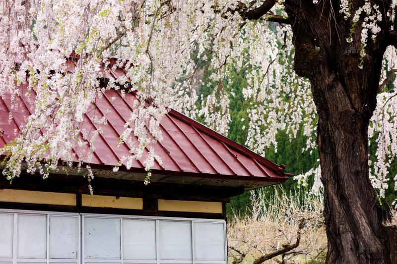 [ 中塩のしだれ桜・阿弥陀堂 ]  阿弥陀堂の赤い屋根とピンクの桜が良く似合います。