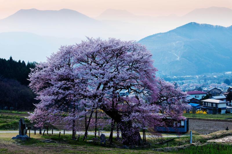 [ 夕暮れ時の黒部のエドヒガン ]  桜に当たる夕日により立体的に見えます。