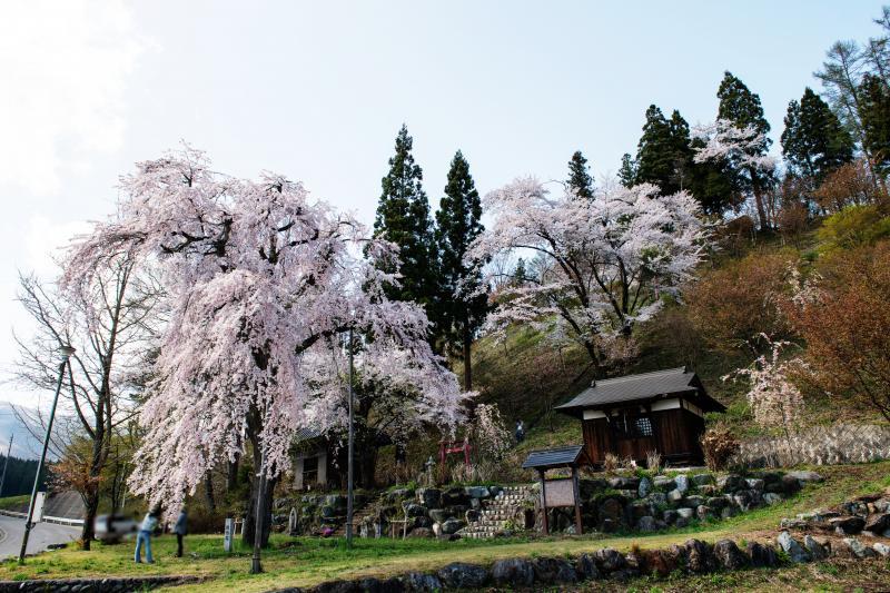 [ 徹然桜 ]  白馬岩岳スキー場の入口にある一本桜です。
