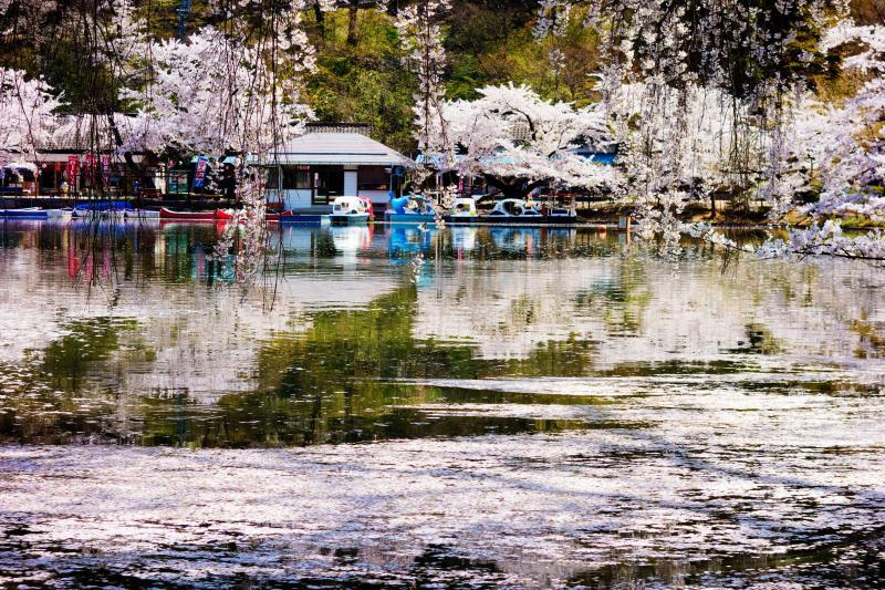 [ 臥竜公園の桜とボート乗り場 ]  湖畔にはボート乗り場があります。