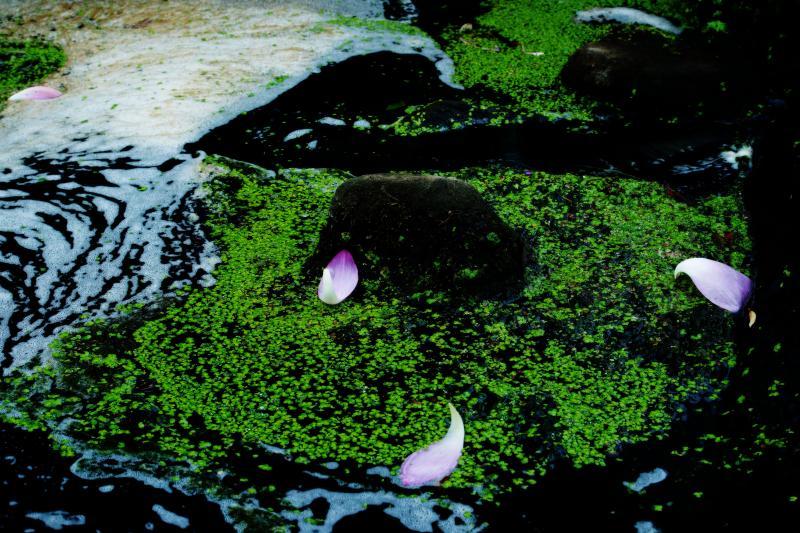 [ 蓮のダンス ]  水の流れの中で蓮の花びらが踊っています。