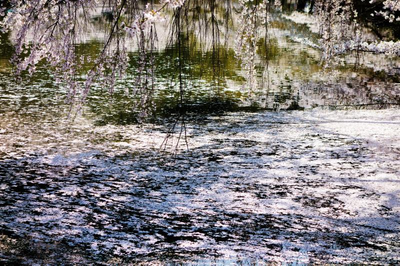 [ 枝垂れ桜と花いかだ ]  湖面が花びらで埋め尽くされています。