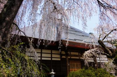 本堂と桜|