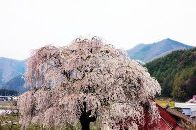 [ 中塩のしだれ桜 ]  赤い屋根の阿弥陀堂の横にあります。