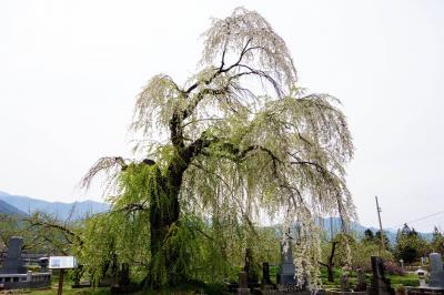 [ 高山大橋南のしだれ桜・全景 ]  片側に寄ったような面白い形をしています。