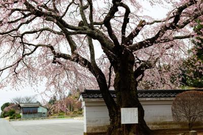 [ 伊那三女ゆかりの桜 ]  山門前、道路に飛び出すように立っています。