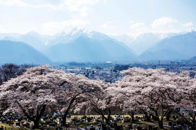 大町霊園の桜と北アルプス| お墓を守るように桜が咲き誇っています。