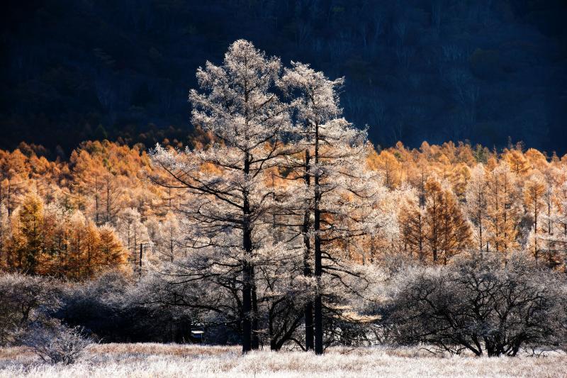 [ 霧氷のカラマツ ]  大きなカラマツが真っ白になっていました。