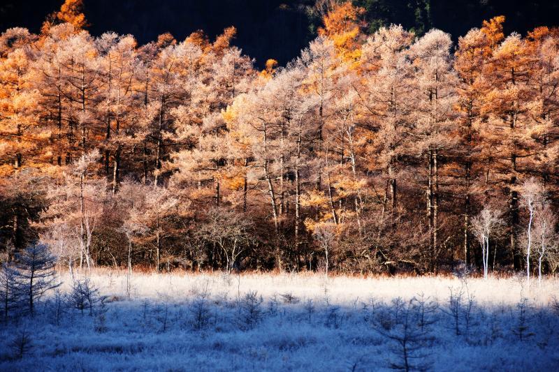 [ 戦場ヶ原のカラマツと霧氷 ]  日差しを受け 白と黄金色に輝きます。