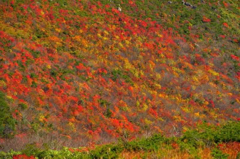 [ 溢れる紅葉 ]  赤・黄色・オレンジがバランスよく広がっています。