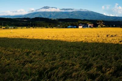 黄金の稲と鳥海山  夕日に染まる稲穂が輝いています。