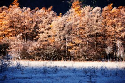 戦場ヶ原のカラマツと霧氷| 日差しを受け 白と黄金色に輝きます。