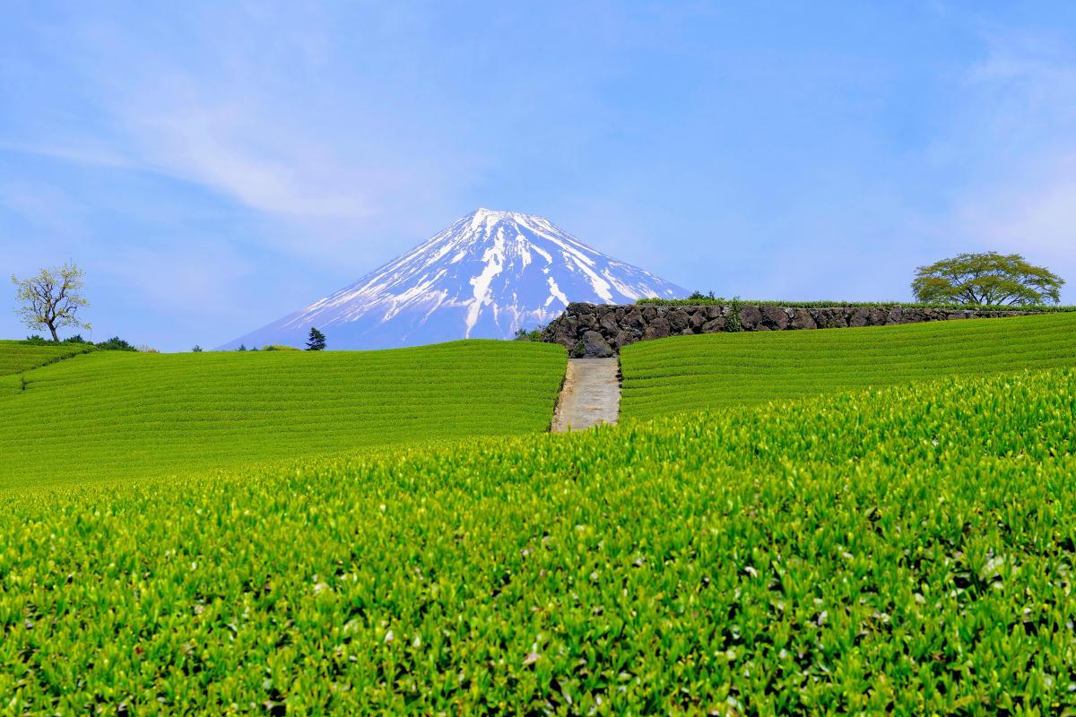 雄大な富士と緑溢れる大地 新芽が生き生きとした茶畑。その先に残雪の富士が見えます。春らしい雲が流れ、とても美しい風景でした。