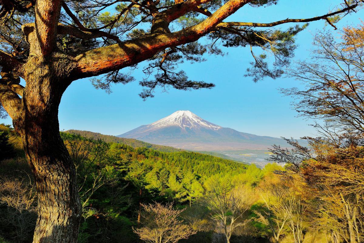 新緑満ちる峠から 駐車場にはシンボル的な大きな松の木があります。木の手前から富士山をのぞき構図で撮影。