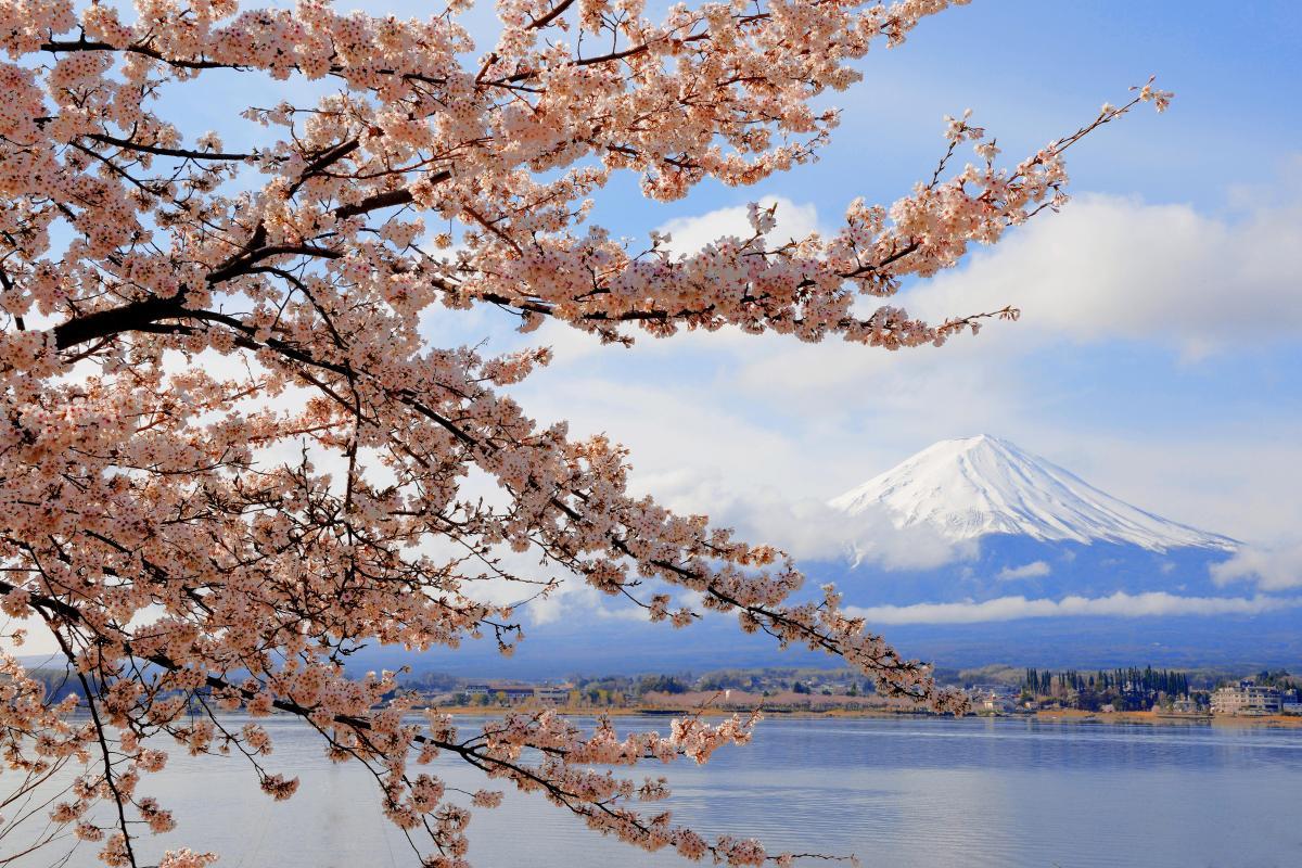 河口湖春景色 湖畔の形の良い桜の枝。雲が程よく流れ、富士山と桜のコラボレーション写真が撮れました。