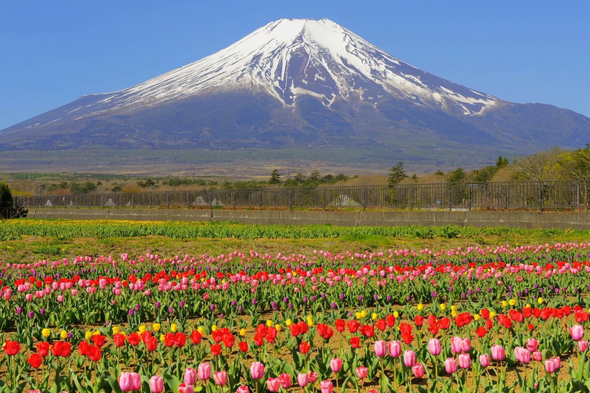 カラフル 空気が澄んで富士山が特に綺麗に見えた日でした。チューリップの絨毯と残雪の富士を楽しむことができました。