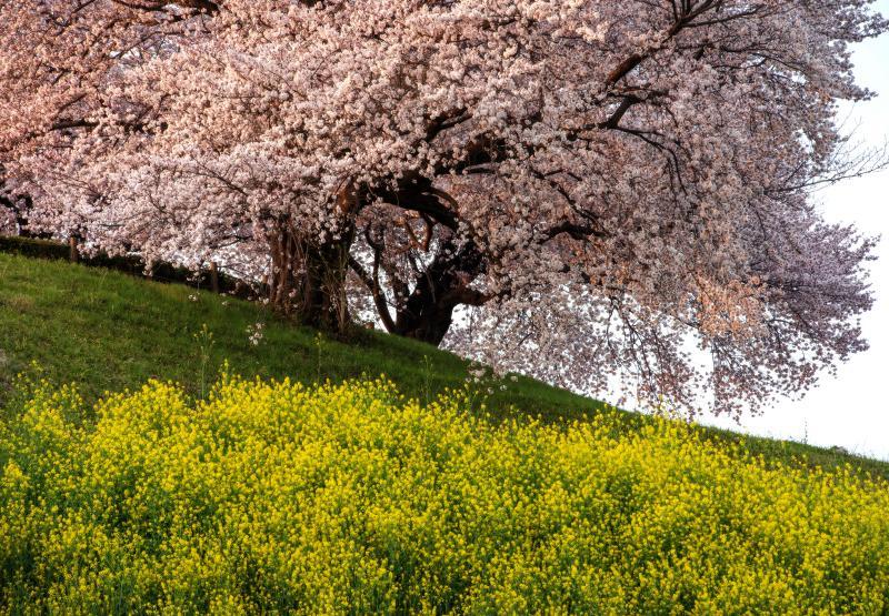 春の彩 | 古墳の上の桜の古木に陽が当たり輝いています。菜の花と桜のコラボレーションが美しい場所。