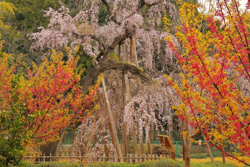 [ 彩の庭 ]  樹齢600年の古木を若い桜たちが囲んでいます。