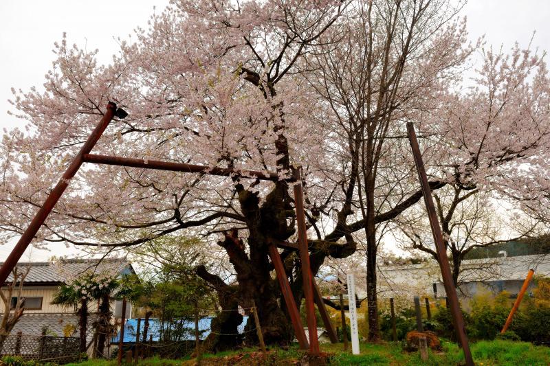 [ 妙義参道で静かに咲く ]  妙義山の近くにある樹齢400年以上の古木。昔は妙義神社への参道がこの前を通っており人々の憩いの場になっていた。