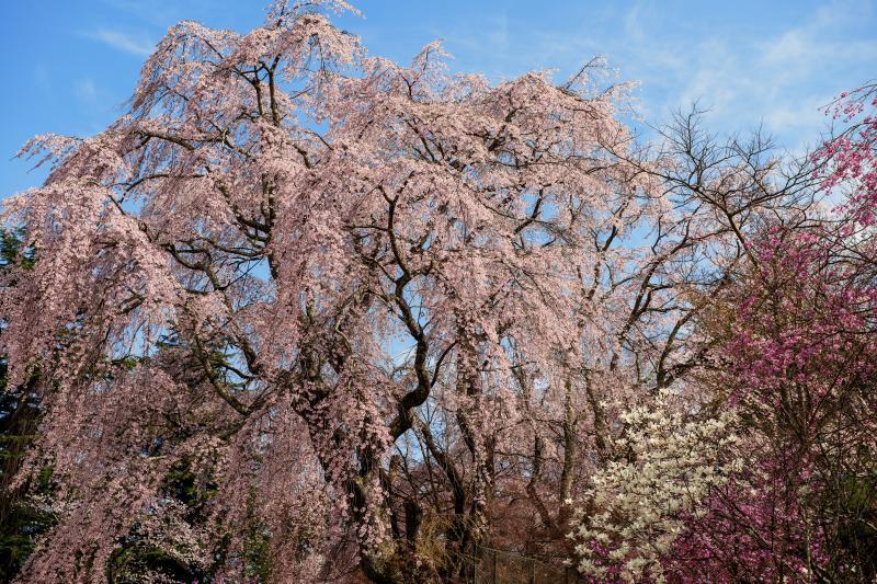 [ 青空に映えるしだれ桜 ]  富士ビューホテル敷地内で最も大きなしだれ桜。
