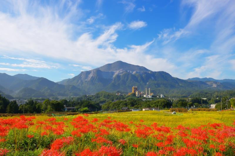 彼岸花と武甲山 | 黄金の棚田を彩る曼珠沙華。秋の青空に漂う雲。秩父の名峰「武甲山」とセメント工場が印象的な棚田風景です。