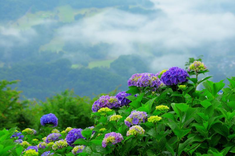 [ 美の山の紫陽花 ]