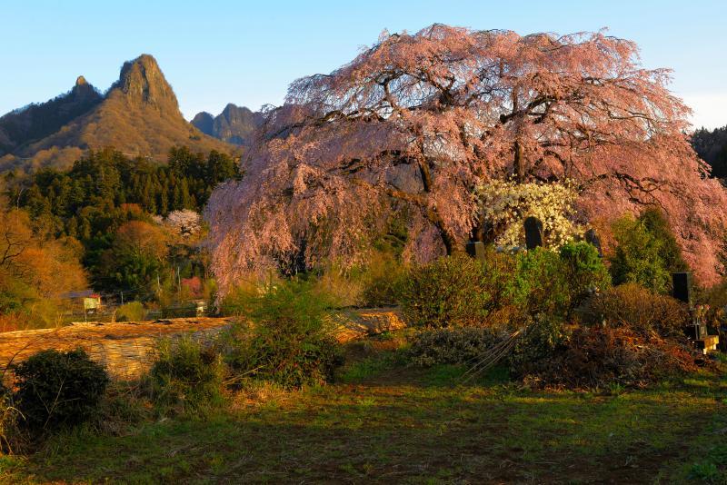 妙義の奇岩としだれ桜| 荒々しい岩が特徴的な妙義山の麓で、美しい花を咲かせる桜です。