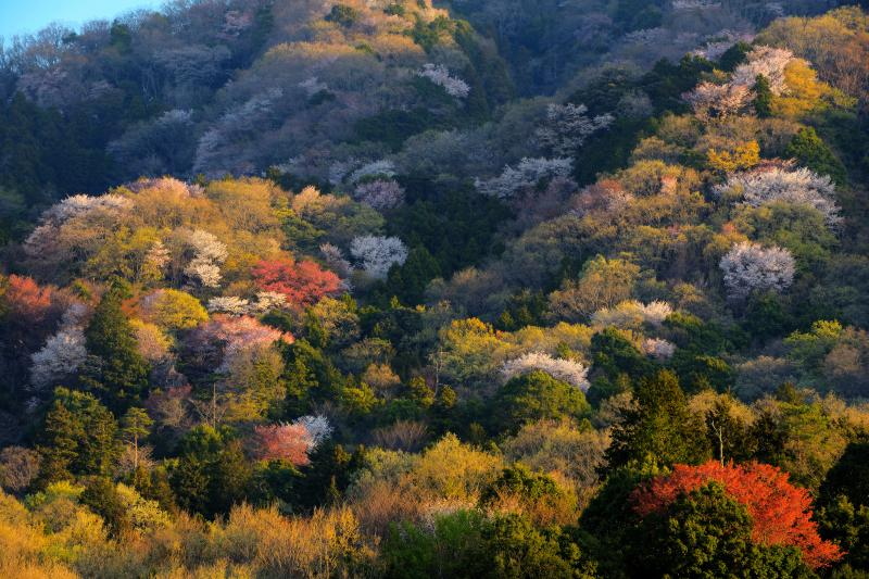 [ 山桜と新緑 ]  パッチワークのような新緑と山桜が朝陽に輝いています。