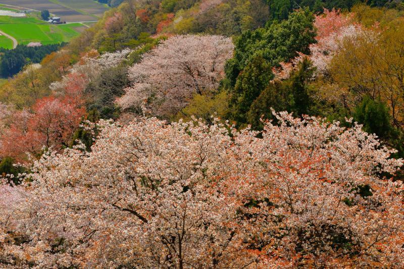 [ 斜面に溢れる山桜 ]  林道からは山一面に広がる桜と田園地帯が一望できます。山桜と新緑が織りなす模様が美しい。
