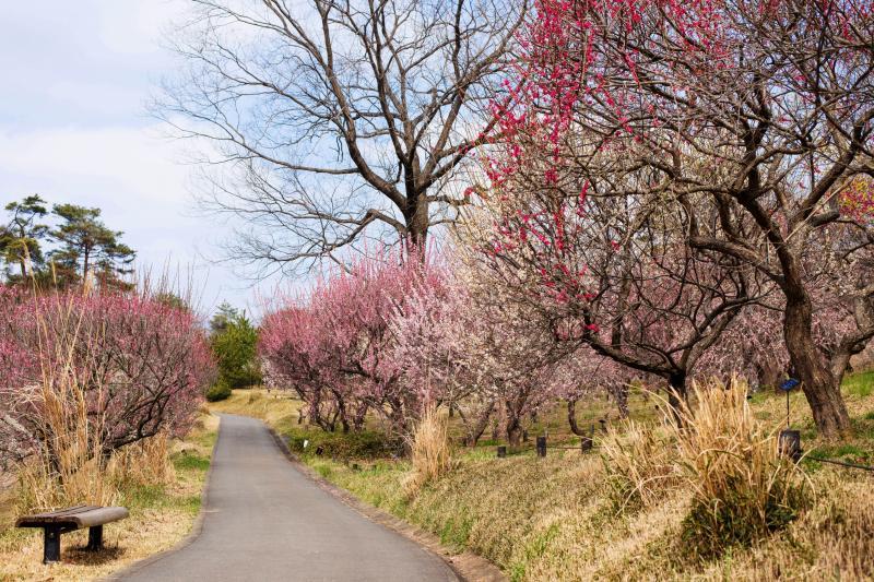 [ 梅の道 ]  綺麗に舗装された遊歩道と、梅の中を歩く道があります。多くの種類の梅が植えてあり、色彩豊かです。