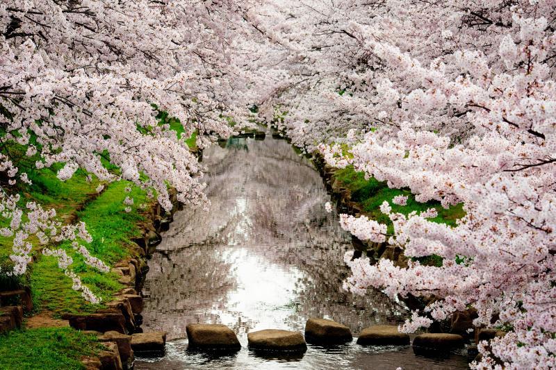 [ 桜に包まれて ]  川の両側から溢れるように桜が咲いています。川面に映りこむ桜がとても綺麗です。