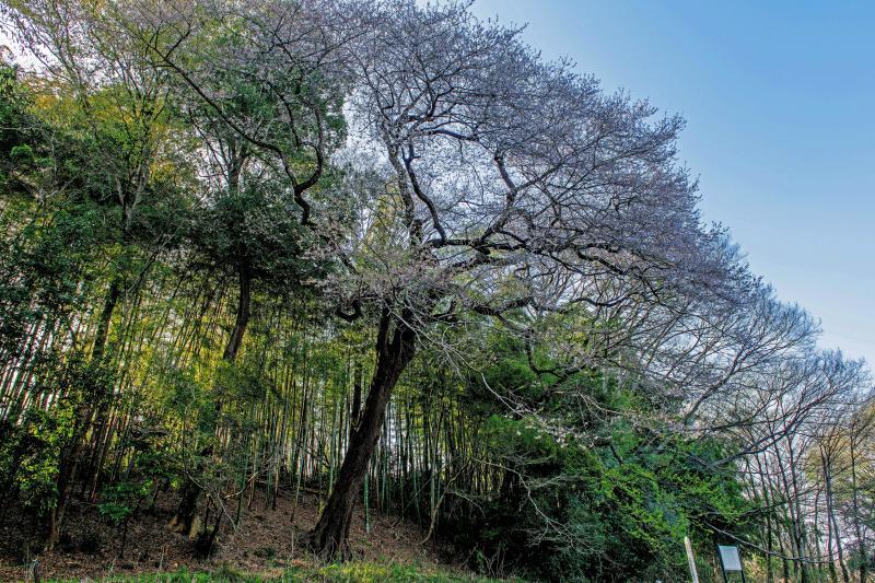 [ 竹林とエドヒガンの古木 ]  公園内の竹林の前に巨大な桜の古木が立っています。