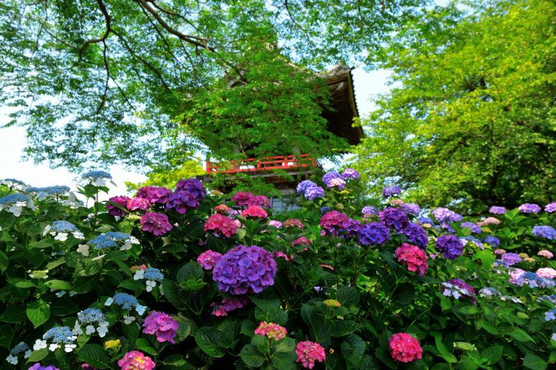 [ 鐘楼の鐘を彩る紫陽花 ]  能護寺のシンボルとなっている鐘楼。多種多様な紫陽花が咲き誇っており、色鮮やかな境内は見事。