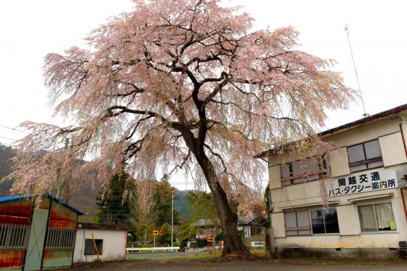 [ 下馬桜 ]  昔の関所跡に立つ一本桜。背が高く、枝ぶりの綺麗な桜です。