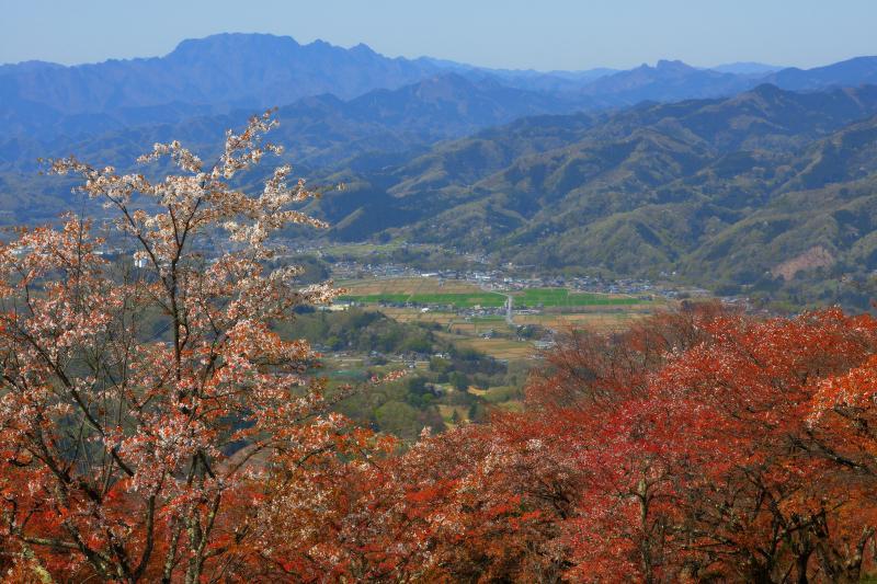 [ 両神山と美の山のヤマザクラ ]  春の美の山はヤマザクラに彩られ、眼下には秩父の街並み、遠くには両神山が見えます。