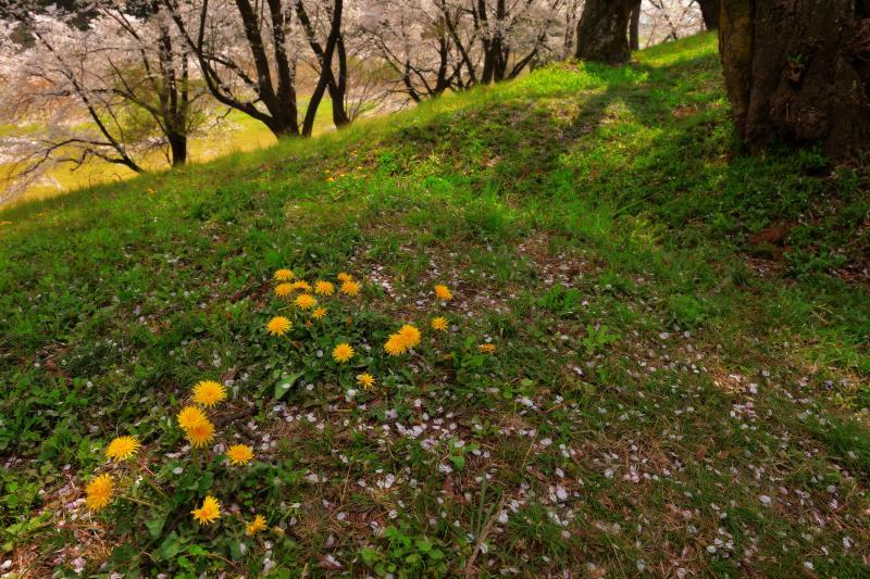 [ タンポポ咲く丘 ]  古墳にはたくさんの桜が咲き乱れ、足元にはタンポポが。古墳の上の遊歩道を歩くと桜を近く感じることができます。