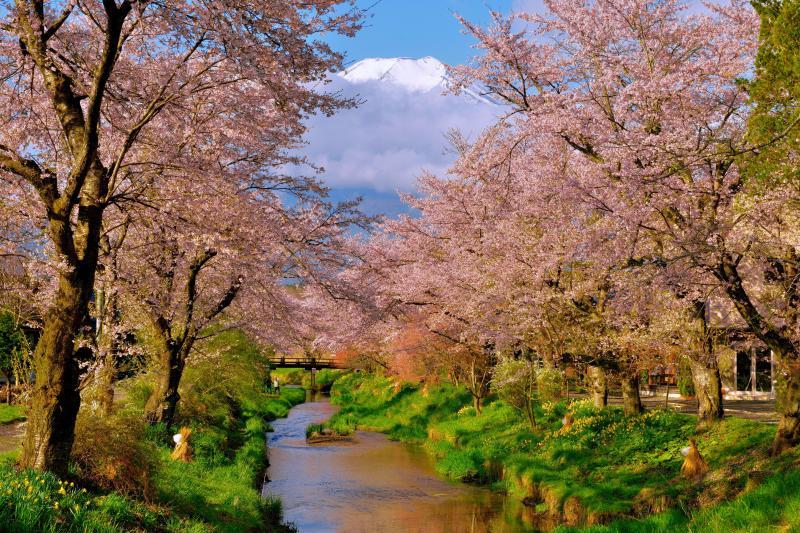 [ 開宴 ]  桜と富士山の撮影スポットで有名な忍野村の「お宮橋」から撮影しました。 雲に隠れていた富士山が現れると歓喜の声が上がります。