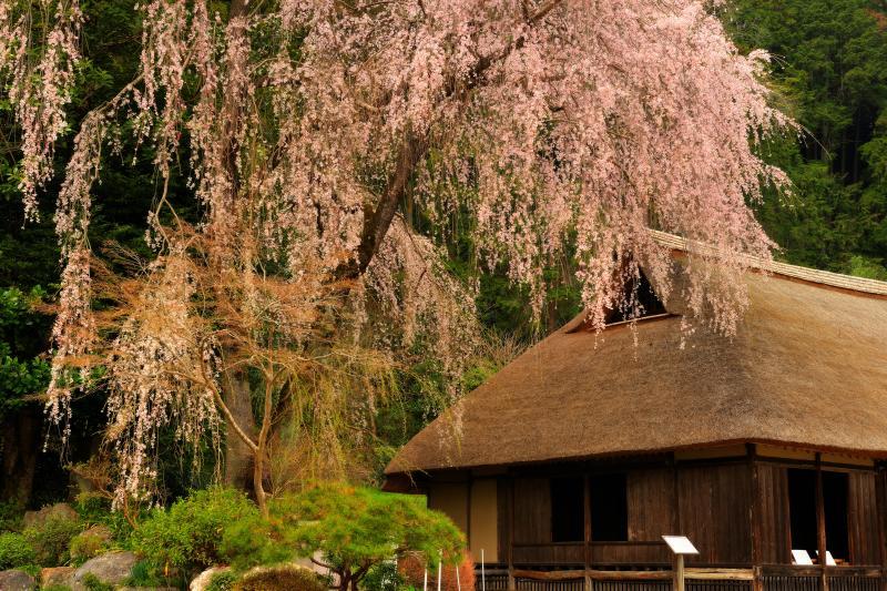 [ 古民家を守る大桜 ]  桜の古木が緑の林の中から、古民家を彩るように伸びています。建物は江戸時代初期のもので、重要文化財になっています。